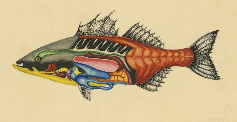 Anatomy of osteichthyes (bony fish), drawing