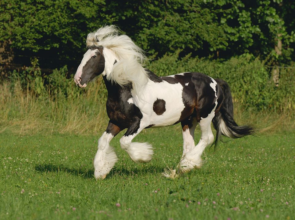 A Gypsy Vanner.