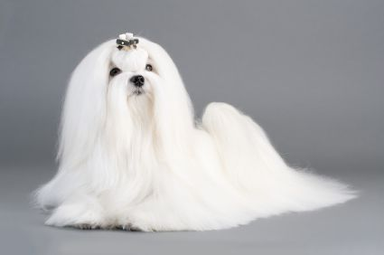 Maltese Dog Breed Photo - Picture of a Maltese Dog