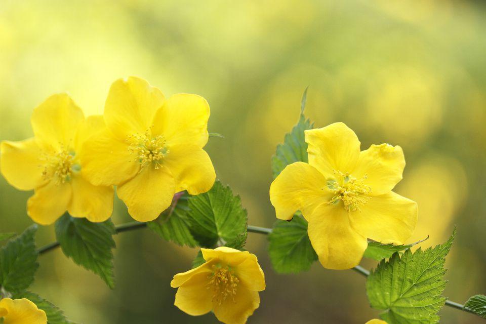 10 best shrubs with yellow flowers closeup of yellow flowers of single kerria japonica shrub mightylinksfo