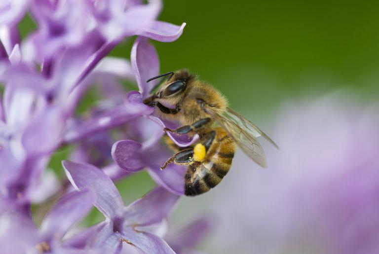Honey bee on a flower.