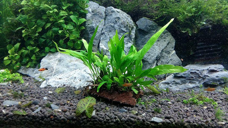 Philippines Java Fern in an Aquarium