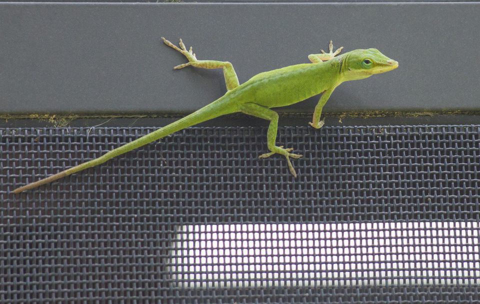 A green anole lizard on a porch screen