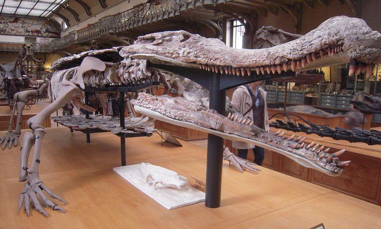 Sarcosuchus ou Sarcosuchus imperator