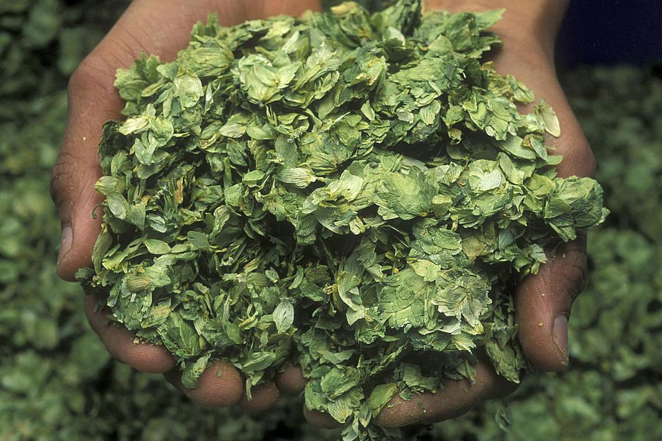 Beer brewing - dried hops held in hands
