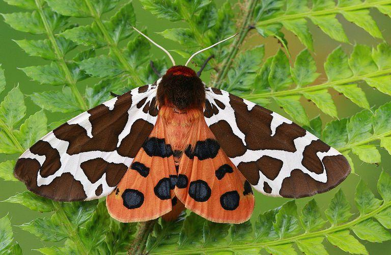 Tiger moth close-up.