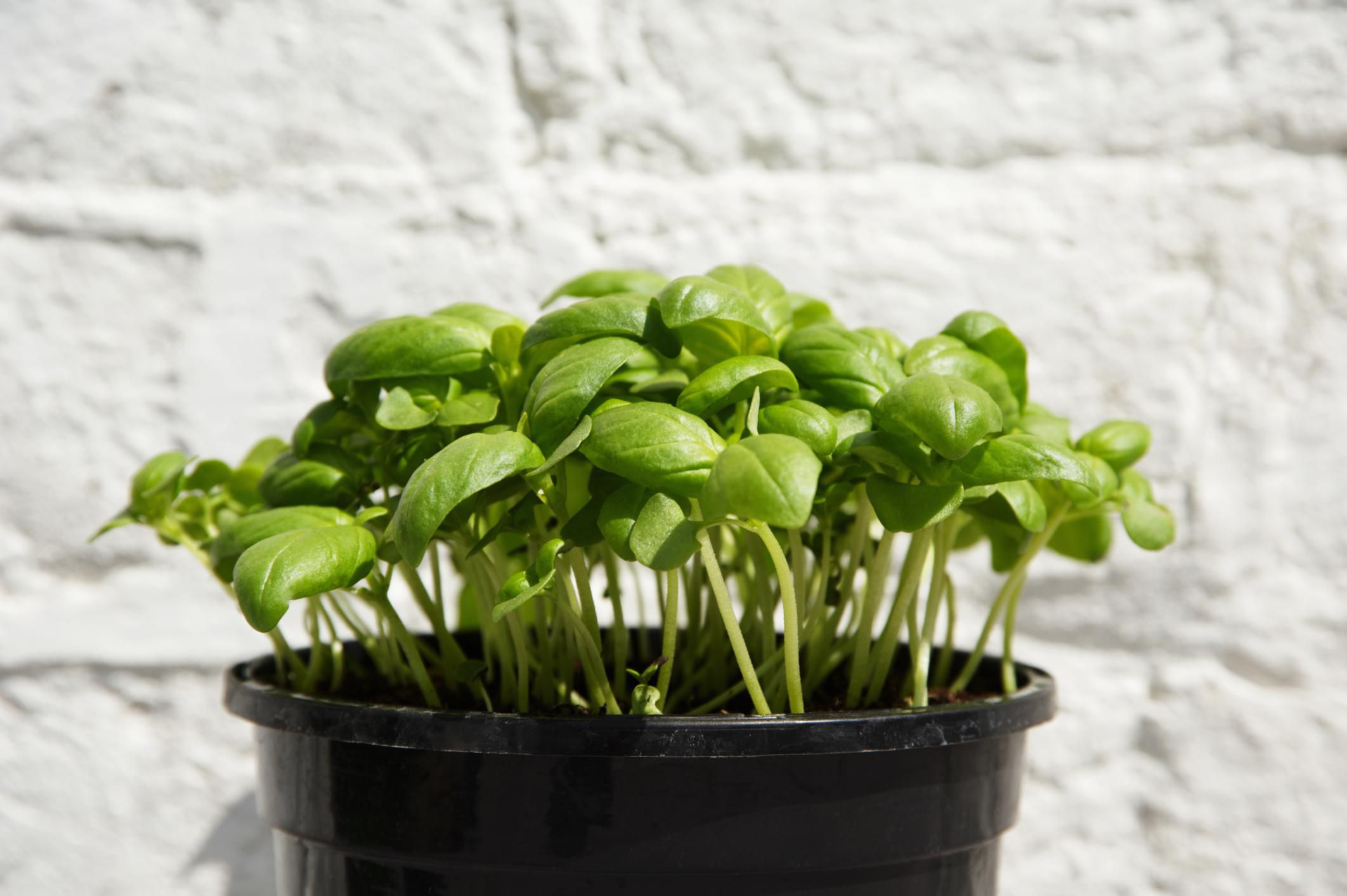 how to grow basil in your garden or container. Black Bedroom Furniture Sets. Home Design Ideas