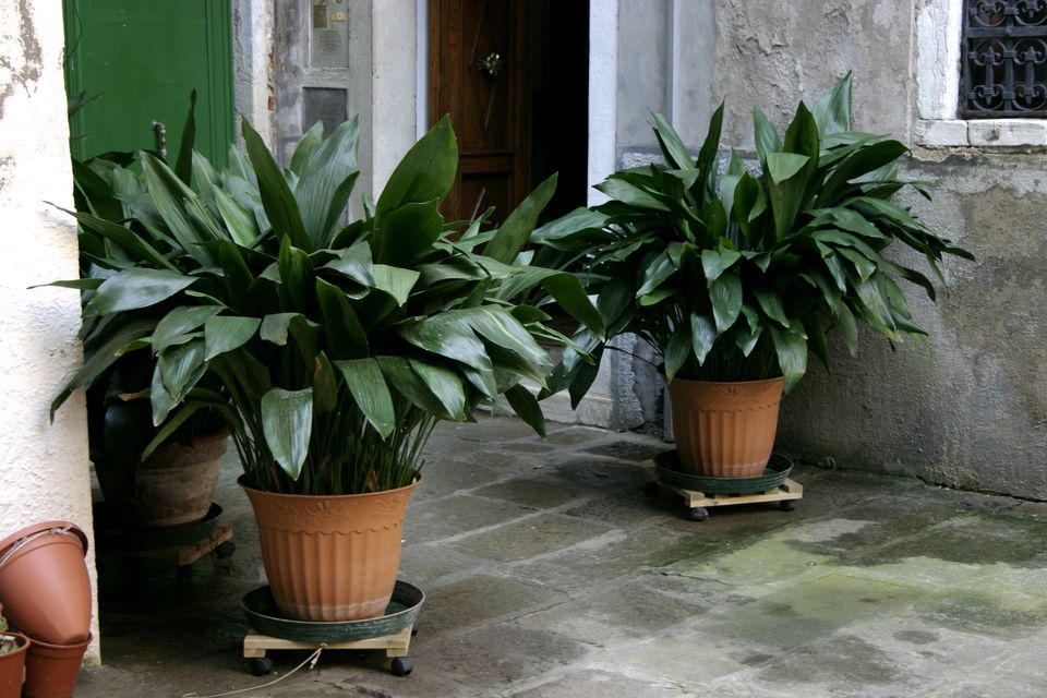 Cast-iron plants