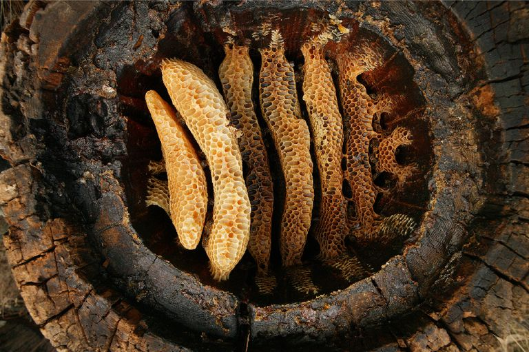 Hollow Log Beehive at Cévennes (France)