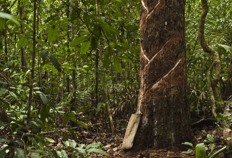 A balata tree being tapped for its latex-like sap in the South American country of Guyana