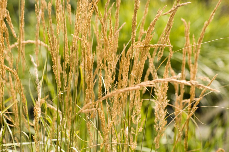 Growing and caring for feather reed ornamental grasses for Wild ornamental grasses