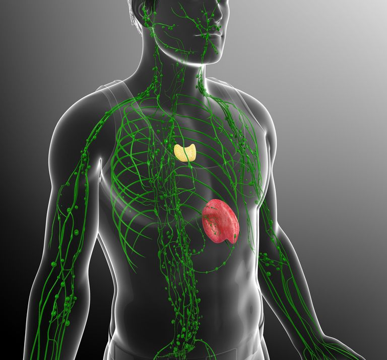 Organs And Function Of The Immune System