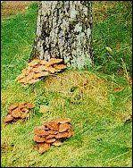 Armillaria Root Rot
