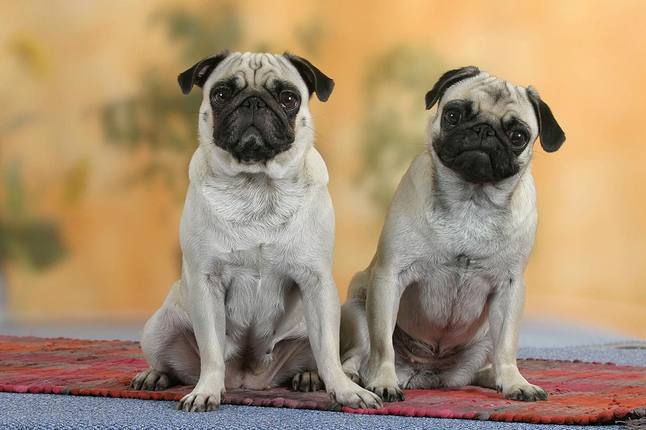 House Design Games Big Fish Pug Dog Breed Profile