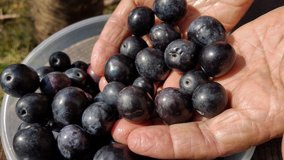 Ripe Olive Harvest