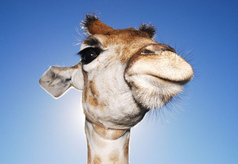 Tips for Taking Great Photos African Safari Giraffe