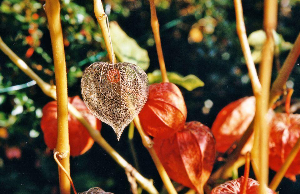 Chinese Lantern Plant