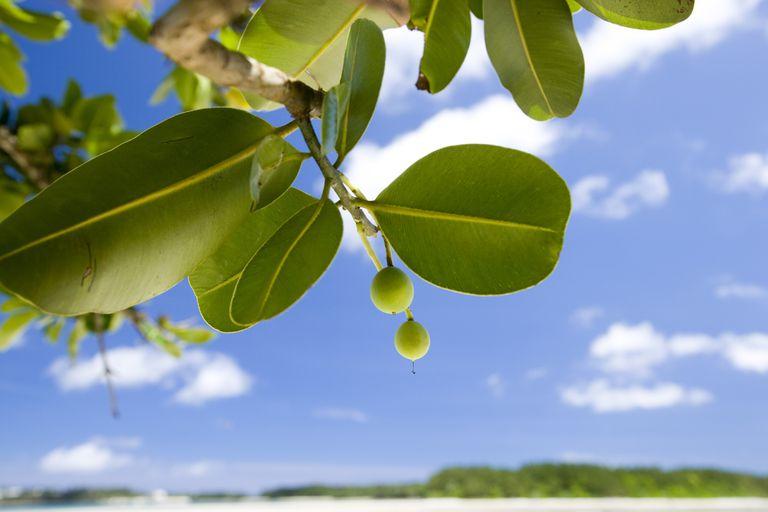 Fruits on Tamanu tree (Calophyllum inophyllum)
