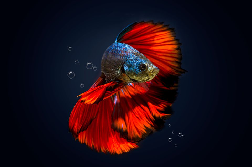 How to determine betta gender close up of siamese fighting fish swimming against black background sciox Image collections