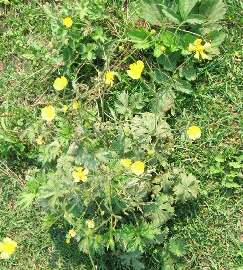 how to kill off horse tail weeds