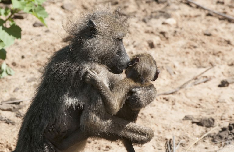 A baboon carries her baby