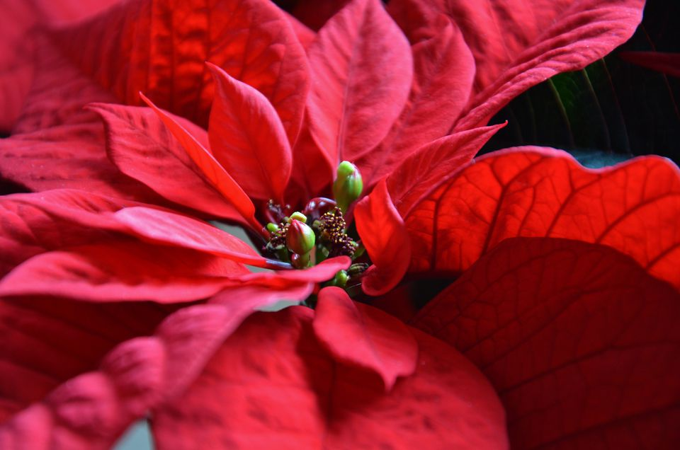 Red Poinsettia Bracts