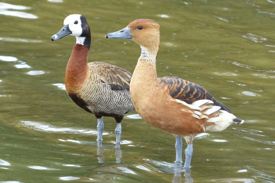 white faced and lesser whistling ducks - Pictures Of Ducks