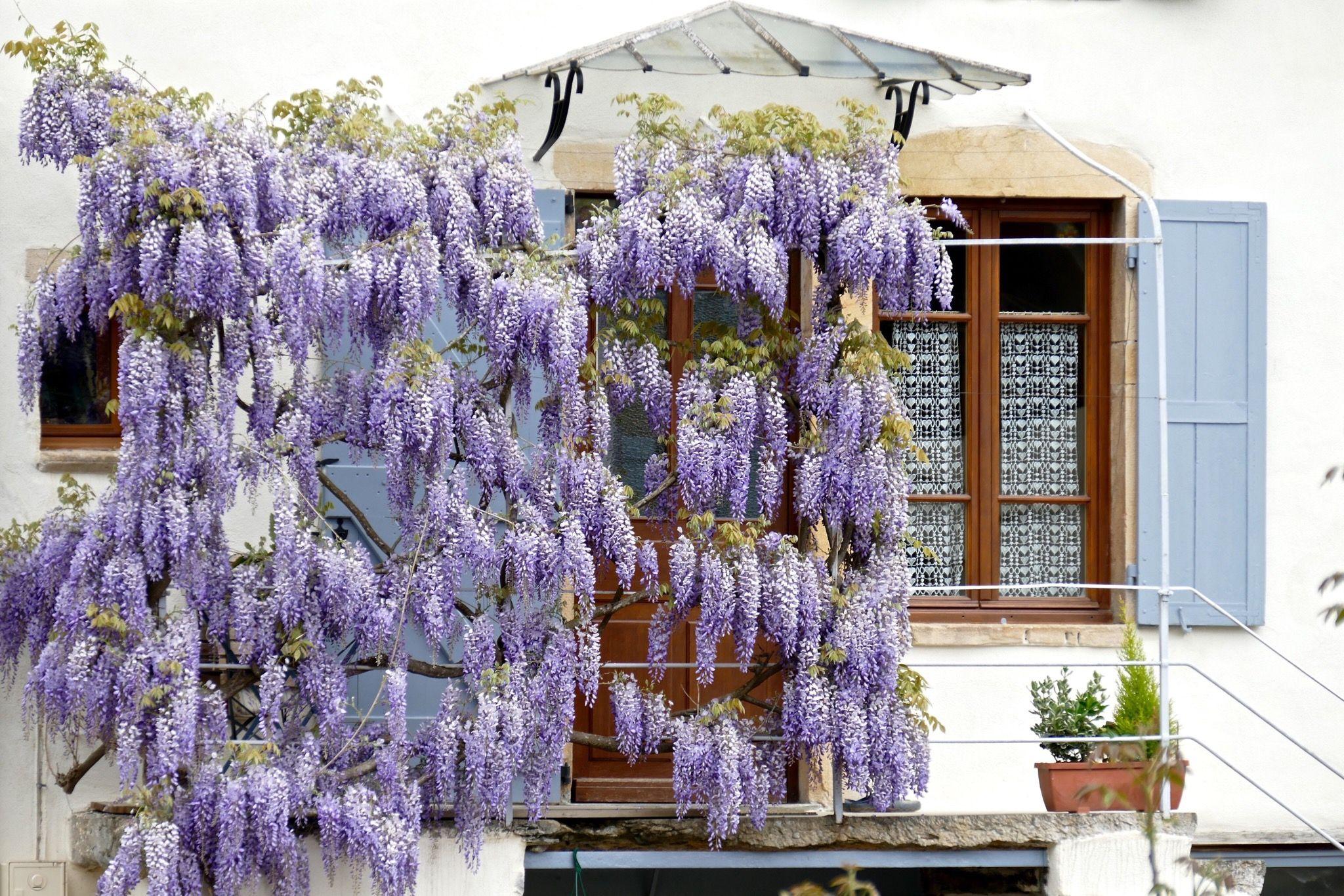 Design Ideas for Flowering Vines on Vine Decor Ideas  id=39181