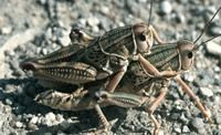 Plains lubber grasshoppers