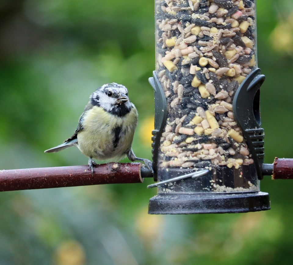 attracting birds to your backyard with food