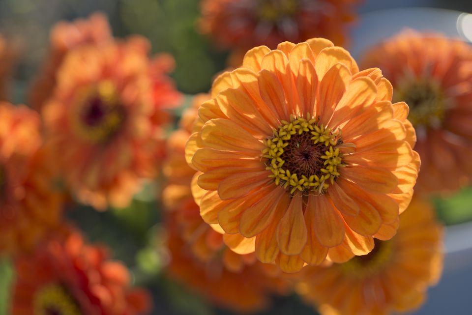 Pictures of orange flower varieties garden photo worldgeorgianna lane getty images mightylinksfo
