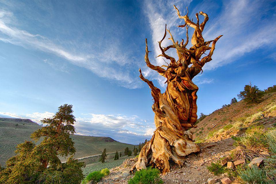 Bristlecone Pine Tree in California's White Mountains