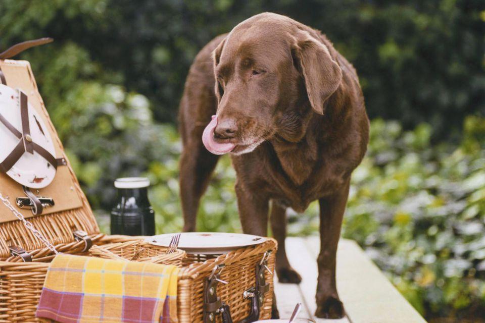 Dog eating picnic food