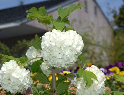 When to prune spring flowering trees and shrubs snowball fight which shrub most deserves the name snowball bush mightylinksfo