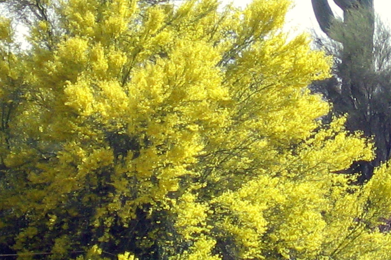 arizona state tree palo verde tree description photos