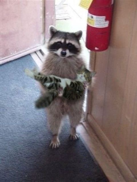 raccoon standing upright and holding a kitten