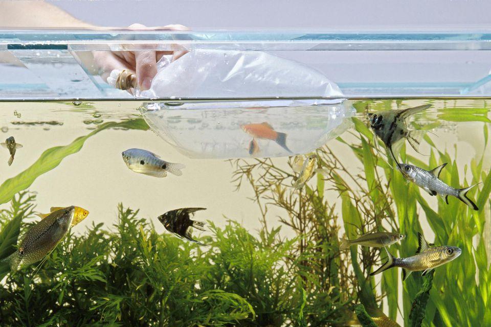 Using plastic bag to put tropical fish in tank
