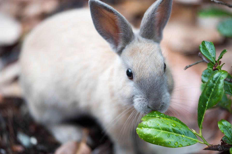 Rabbit feeding on plants