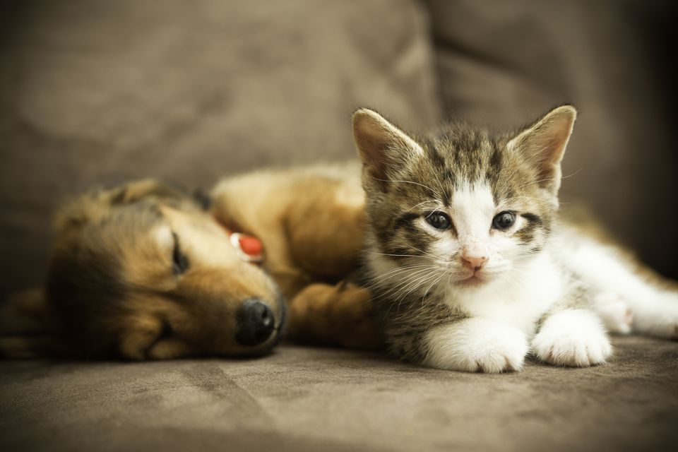Cats vs Dogs - Which is the better pet?