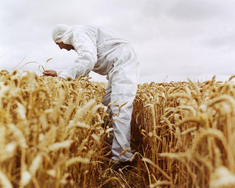 Campo de trigo transgénico