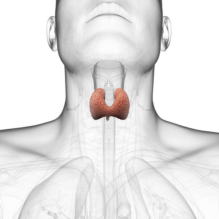 Healthy thyroid gland, artwork Healthy thyroid gland, computer artwork.