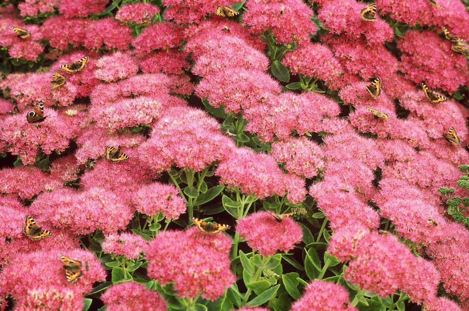 Autumn Joy flowers
