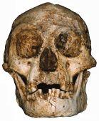 H. floresiensis skull, Liang Bua Cave, Indonesia