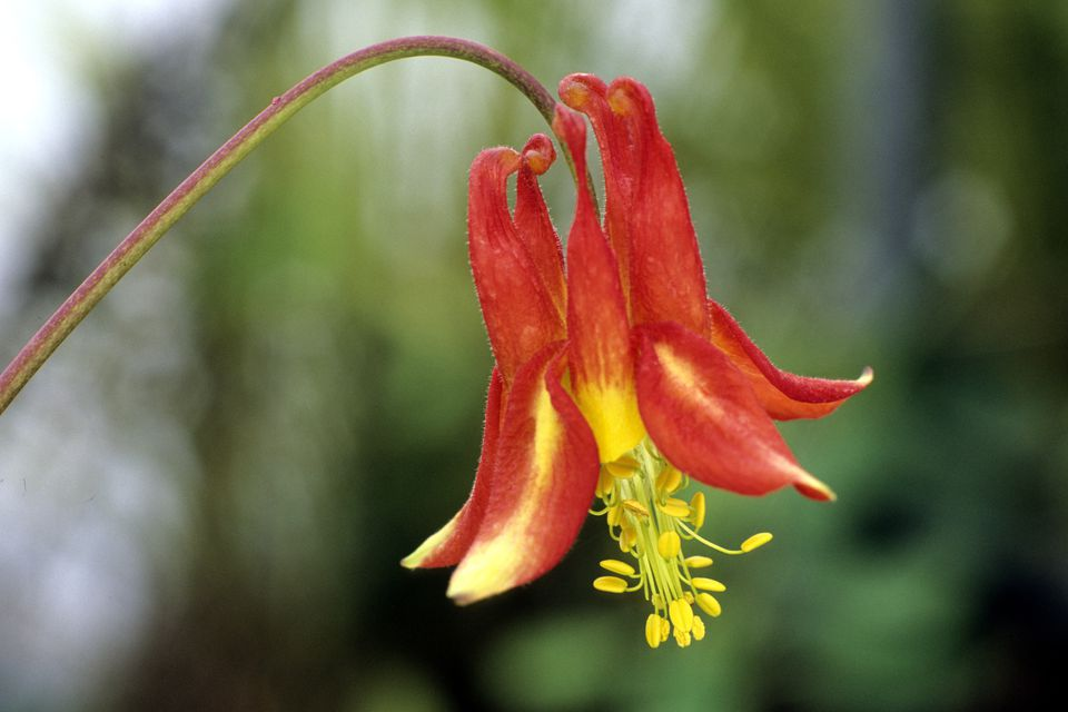 12 great perennials for shade and how to grow them red columbine aquilegia formosa plant in bloom with yellow stamens mightylinksfo