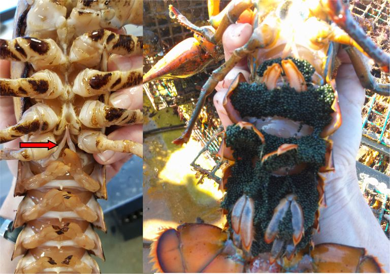 Distinguishing a male lobster from a female