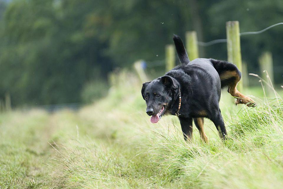dog lifting leg to urinate on grass