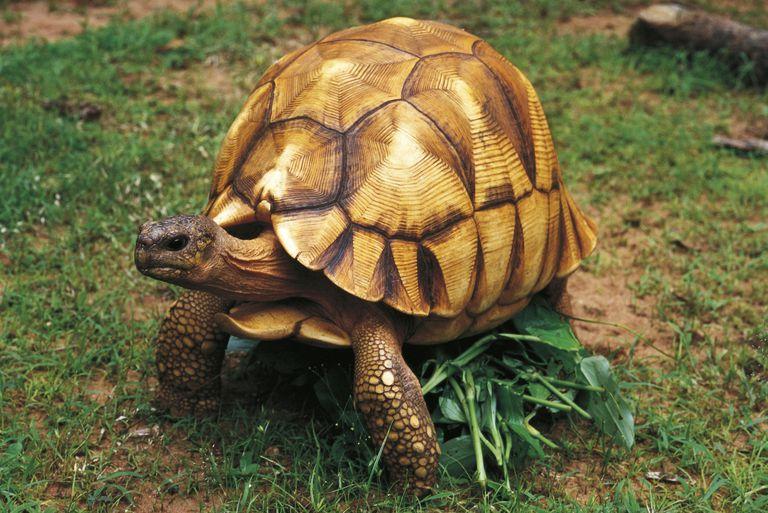 Angonoka Tortoise (Geochelone yniphora