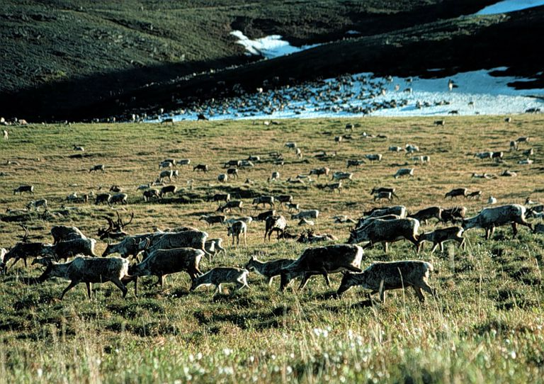 Caribou grazing in the Arctic National Wildlife Refuge, Alaska