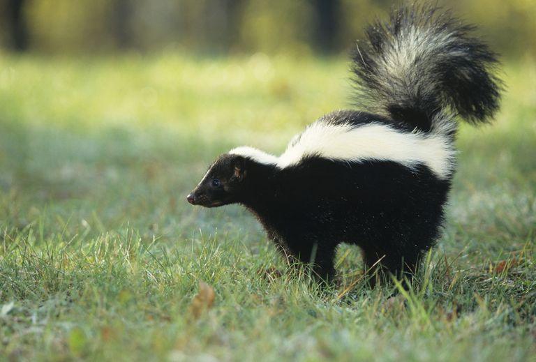 Skunk spray stinks because of thiols.