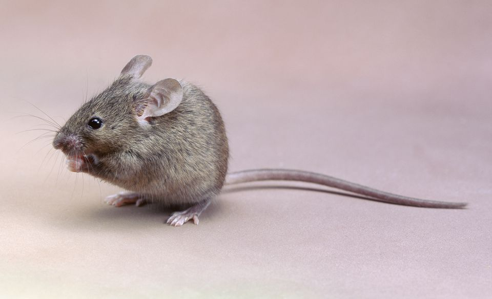 Close-up of a House mouse (Mus musculus)